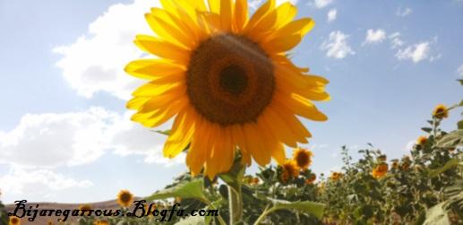 مزرعه آفتابگردان - عکس از تختی